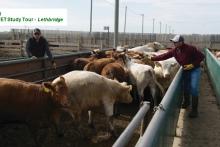 Day 3 Leithbridge Cattle